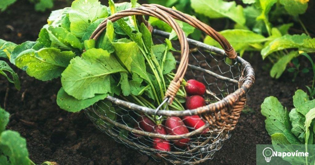 Pěstování ředkviček na vlastní zahrádce je snadné